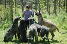 Irish wolfhounds will forever be my favorite.