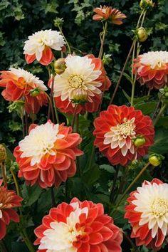 Dahlia 'Tangerine Sorbet' Dahlia Decorative from Van Bloem Gardens Pretty Flowers, Dahlia, Planting Flowers, Pea Flower, Beautiful Flowers, Summer Flowering Bulbs, Love Flowers, Trees To Plant, Dahlia Flower