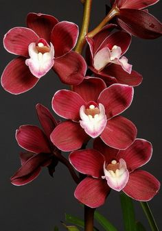 Cymbidium Fire Village orchid var. Enzan Merlot. photo: Charles Boco.