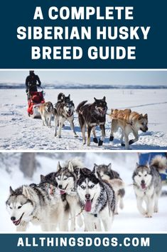 The Siberian Husky is a proud and majestic dog breed that has deep roots in the harsh northern hemisphere. Throughout their proud history, this breed has s Husky Breeds, Dog Breeds, Alaskan Dog, Sled, Runners, Join, Racing, America, History