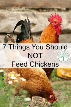 Knowing what NOT to feed chickens is important for a healthy flock. Here are 7 … Knowing what NOT to feed chickens is important for a healthy flock. Here are 7 items that should not be given to your flock. via The Homesteading Hippy Chicken Garden, Backyard Chicken Coops, Chicken Coop Plans, Building A Chicken Coop, Diy Chicken Coop, Chicken Ideas, Chicken Life, Chicken Tractors, Chicken Roost