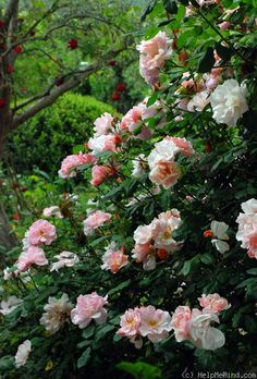 ~'Clair Matin' rose - don't remember if this is in my low-maintenance zone 8 base or not, but it looks like it would be. and I want to try it:)