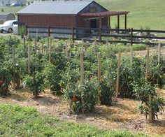 tomatoes how to get the most from your plants in the garden, gardening, Nothing beats a tomato fresh from the garden