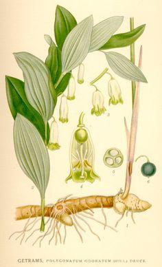 Polygonatum odoratum (Mill.) Druce. - Bilder ur Nordens Flora / 1917-1926