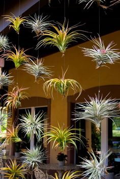 Our Visitor Center has a wall of Tillandsia (air plants) on display. A great way - Plants On Wall - Ideas of Plants On Walls - Our Visitor Center has a wall of Tillandsia (air plants) on display. A great way to garden soil-free! Hanging Air Plants, Indoor Plants, Plant Wall, Plant Decor, Cactus Decor, Succulents Garden, Garden Plants, Garden Soil, Balcony Gardening