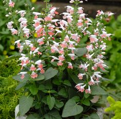 Blood Sage 'Summer Jewel Pink' (Salvia coccinea)