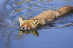 This adorable fox thinks he's an alligator! Animals And Pets, Baby Animals, Cute Animals, Beautiful Creatures, Animals Beautiful, Malamute, Wolf, Fantastic Fox, Amazing