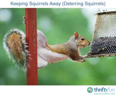 Natural Methods For Deterring Chipmunks Squirrels essential