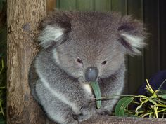 koala by sfoperanut1, via Flickr