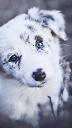 Cute Puppies With Blue Eyes Australian Shepherd Really Cute Puppies, Cute Baby Dogs, Super Cute Puppies, Cute Little Puppies, Super Cute Animals, Cute Dogs And Puppies, Cute Funny Animals, Cute Baby Animals, Doggies