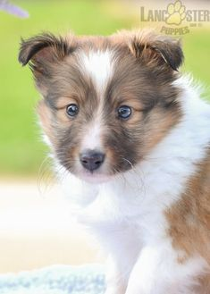 Shetland Sheepdog Puppies, Sheltie, Puppies For Sale, Rottweiler, Corgi, Pets, Animals, Corgis, Animales