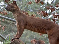 Fossa - The fossa is well known for its fierce and dominant approach to hunting ...  The fossa can run unbelievably quickly and...  Despite the cat-like appearance of the fossa (some compare the fossa to the clouded leopard found in Southeast Asia), the fossa is actually believed to be most closely related to the mongoose, a smaller weasel like mammal found in more arid parts of Africa.  http://true-wildlife.blogspot.com/2011/02/fossa.html
