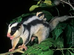 Dactylopsila trivirgata (vakoveverka páskovaná, Petauridae)