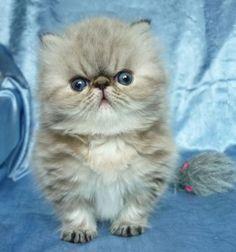 gatito persa exotico