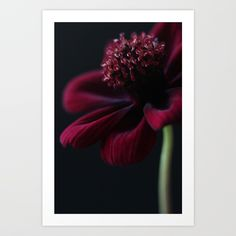 Chocolate Cosmos Flower Art Print by alysonfennellphotography Chocolate Cosmos Flower, Flower Prints, Flower Art, From The Ground Up, Buy Frames, Art Pictures, Printing Process, Gallery Wall, Make It Yourself