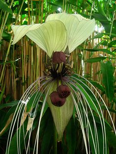 also known as corpse flower or devil flower.
