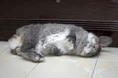 If the bunny flops himself over on his side or back, that is totally different, and has not shown to cause issues. No need to run up to Bunny yelling! He is just happy and comfortable.