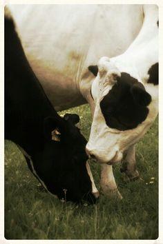 True love between two cows.
