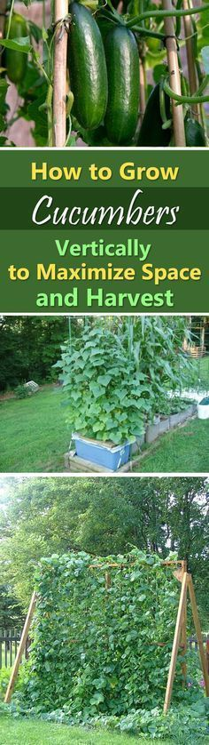Growing Cucumbers Vertically How to Grow Cucumbers in Small Garden