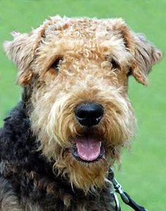 Airedale Terrier - BreederRetriever