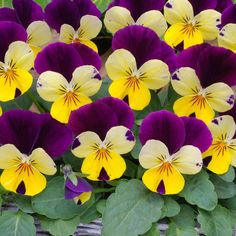 One of our favourite violas! Lemon Jump Up produces bright yellow flowers with a regal purple wing on top of beautifully compact, yet sturdy plants and forms part of the Sorbet XP series.  In our trials, Sorbet XP Violas outperformed other varieties by far, producing superior, well branched plants that were resistant to stretching - and comes highly recommended!  Ideal for mixing with other colours from the Sorbet XP range as the flowering times and sizes are extremely similar  Violas ...