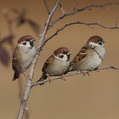 The Sparrows Nest Small Birds, Little Birds, Colorful Birds, Pet Birds, Cute Baby Animals, Animals And Pets, Sparrow Bird, Brown Bird, Tier Fotos