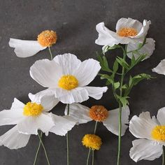WILD Flower Workshop: Matilija Poppies at @sfbotanicalgarden. Link in my profile for this April 27th daytime workshop at wonderful San Francisco Botanical Garden. Whether you call it a Matalija poppy, Romneya coulteri, California Tree Poppy or a fried egg flower, these are fun to make and so special to have around. Hope to see you there! #paperflowers