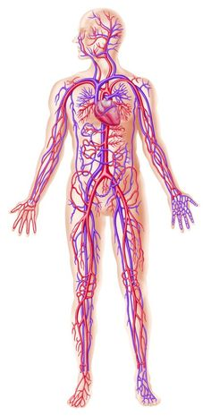 7 Competent Clever Tips: Blood Pressure Graph hypertension remedies benefits of.Blood Pressure Monitor Tips blood pressure symptoms natural remedies.Blood Pressure Chart Home Remedies. Blood Pressure Numbers, Blood Pressure Chart, Blood Pressure Remedies, Reducing High Blood Pressure, Lower Blood Pressure, Human Body Facts, Whole Body Vibration, Human Body Systems, Burn Stomach Fat