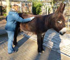 Ein Tag bei den Tieren - das etwas andere Zooerlebnis | Zoo Heidelberg Die zotteligen Poitu-Esel lieben es, gestriegelt zu werden