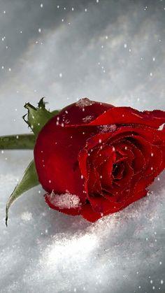 black–tulip:  لانك لست معي فاض الحنين ب ادمعي ان القلب غيابك لا يعي ولا يطيب له عيش ف يعلم انه اليكي مرجعي ف هوني علي مواجعي هوني علي مواجعي