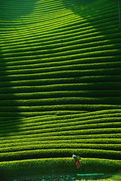 Tea plantation in Kyoto, Japan