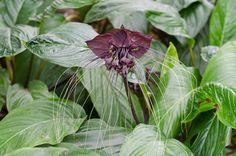 "No, that's not a bat, but it looks pretty cool, doesn't it? The Tacca Chantrieri is actually a species of flower in the yam family that has black flowers and long ""whiskers"" that can grow up to 28 inches. Na-na-na-na-na-na-na-na-Bat Plant! Image: Shutterstock"