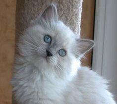 ragdoll cat....want one!