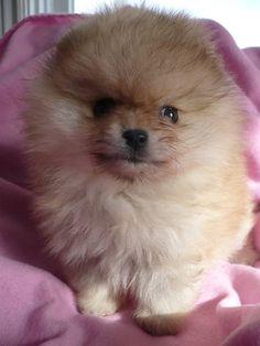 Baby Pomeranian.