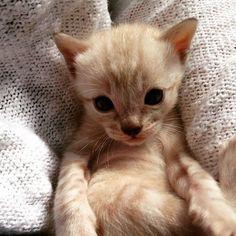#kucingbikingemes ini kiriman dari : @bombasticbengals    punya #kucingbikingemes juga? follow dan tag @kucingbikingemes  jangan lupa pakai #kucingbikingemes   via #catsofinstagram #cat #cats #catofinstagram #cat_of_instagram #catstagram #catsoftheworld #catslover #catgram #catagram #catslife #kucing #kucingku #kucinglucu #kucingsaya #kucingimut