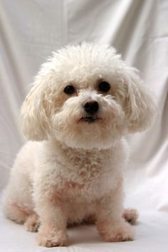 Bichon-Frise/mini poodle mix Adopted We are so lucky to have him Bichon Frise, Bichon Dog, Teacup Puppies, Cute Puppies, Dogs And Puppies, Doggies, Types Of Dogs Breeds, Dog Breeds, Animals For Kids