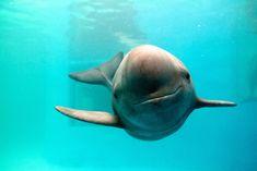 Der Grund, diese einzigartige und Kritisch gefährdeten Schweinswal Lächelt   Teilnehmen