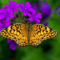~~ L U S T R O U S ~ butterfly by Lisa G. Putman~~