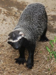 Lesser Grison (Galictis cuja) is a species of mustelid from South America.