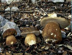 BOLETS DE LES ILLES BALEARS Fungi, Chill, Stuffed Mushrooms, Vegetables, Food, Arrows, Plants, Mushroom, Mushrooms