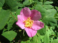 The Wild Rose is the official flower for the Province of Alberta in western Canada.