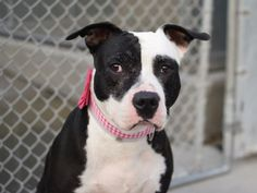 SPOTTY - A1037655 - - Brooklyn  TO BE DESTROYED 06/19/15  Spotty is not just attractive, she has one of a kind markings that distinguish her looks with such character. Spotty and her housemate Skipper were surrendered due to allergies. Instead of taking a Benadryl, they took their dogs to the NYCACC. Spotty is around five years old, and is a little unsure of all the changes in the new shelter enviroment. She received an Experienced rating in her SAFER, but overall a very go