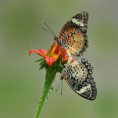 Beautiful Butterflies Photography by Kayes c