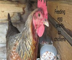 A description of how to feed egg shells back to laying chickens to supply their calcium needs. Portable Chicken Coop, Best Chicken Coop, Chicken Feed, Chicken Eggs, Chicken Life, Chicken Coops, Best Egg Laying Chickens, Raising Backyard Chickens, Egg Shells