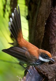 Manus Fantail - Rhipidure de l'Amirauté Kinds Of Birds, Birds 2, Wild Birds, Love Birds, Beautiful Birds, Bird Pictures, Little Birds, Bird Feathers, Bunt