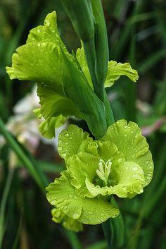 Green Gladiolas | Flickr - Photo Sharing!
