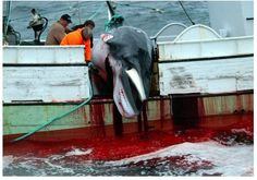 Stop Whaling NOW! @stopwhalingasap #Norway whalers stats ~ Average time to death > 6 minutes 35 seconds. (suffering immensely) #OpWhales pic.twitter.com/9Lf9XZIrnR