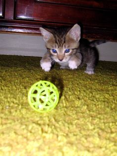 cutest-cats:    Fluffy the UNfluffy my little abandoned feral kitten with his first toy.. a jingle bell ball    yay my baby made it ontocutest-cats!