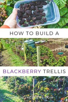 How to build a Blackberry Trellis: a simple way to grow thornless blackberries. Wood wire and eyelet screws are all you need to build a simple blackberry trellis. This is an inexpensive way to grow thornless blackberries in the vegetable garden. Thornless Blackberries, Growing Blackberries, Blueberries, Home Vegetable Garden, Fruit Garden, Harvest Garden, Veggie Gardens, Herbs Garden, Blackberry Trellis