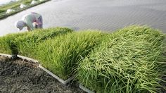 Fukushima farmers start sowing rice seeds in radioactive no-go zone